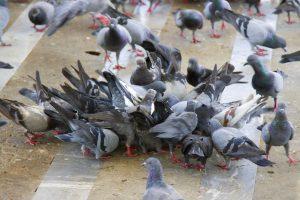 Imagen de una plaga de palomas